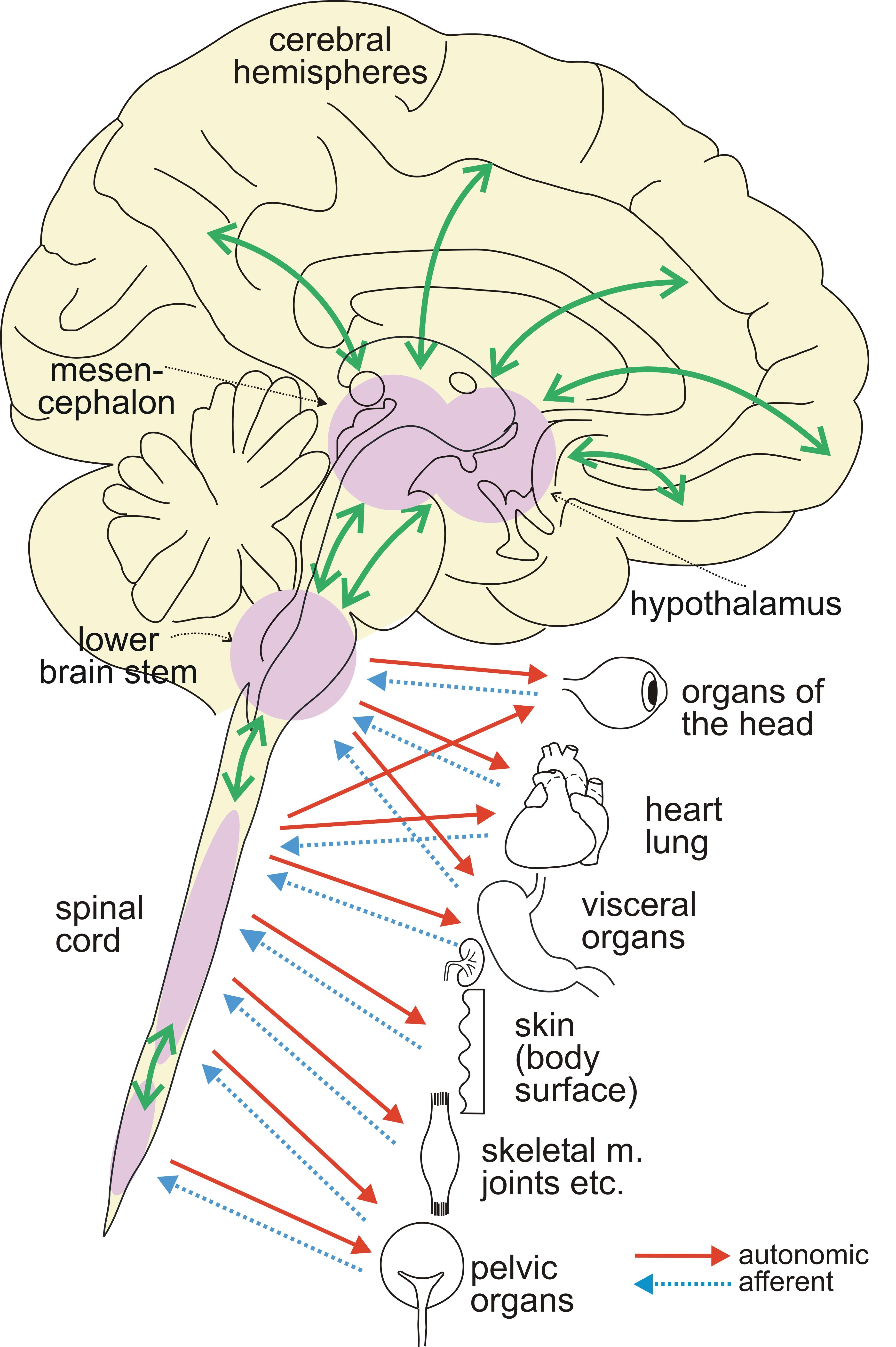 2-ANS-Brain-Regul-NS-Fig15-2013.jpg